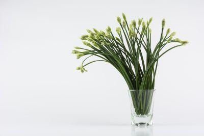 How To Regrow Garlic Chives Growing Garlic Chives Without Soil Regrow Garlic Growing Garlic Chamomile Growing