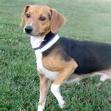 Beagle Dachshund Mix Beagle Mix Dachshund Mix Mixed Breed Dogs