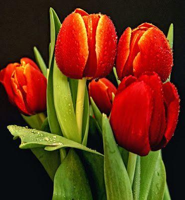 30 Fotos De Tulipanes En Varios Colores Para Ver Y Compartir Banco De Imagenes Gratis Com Shared Via Slingpic Tulipanes Flores Tulipanes Tulipanes Rojos