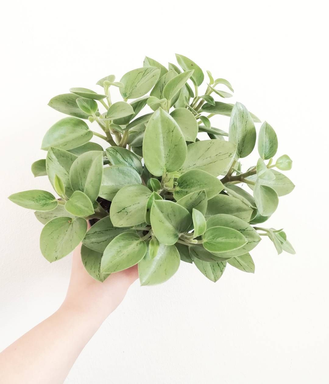 Peperomia orba indoor plants pinterest