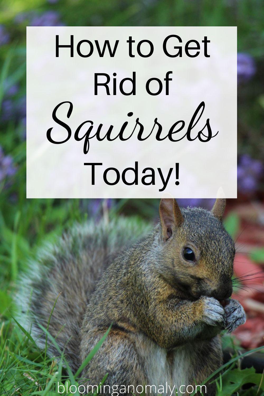 Get rid of squirrels in 2020 get rid of squirrels