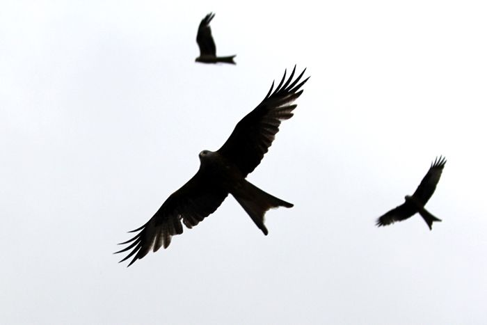 Red Kite Silhouette Images Google Search Kite Tattoo Silhouette Images Red Kite