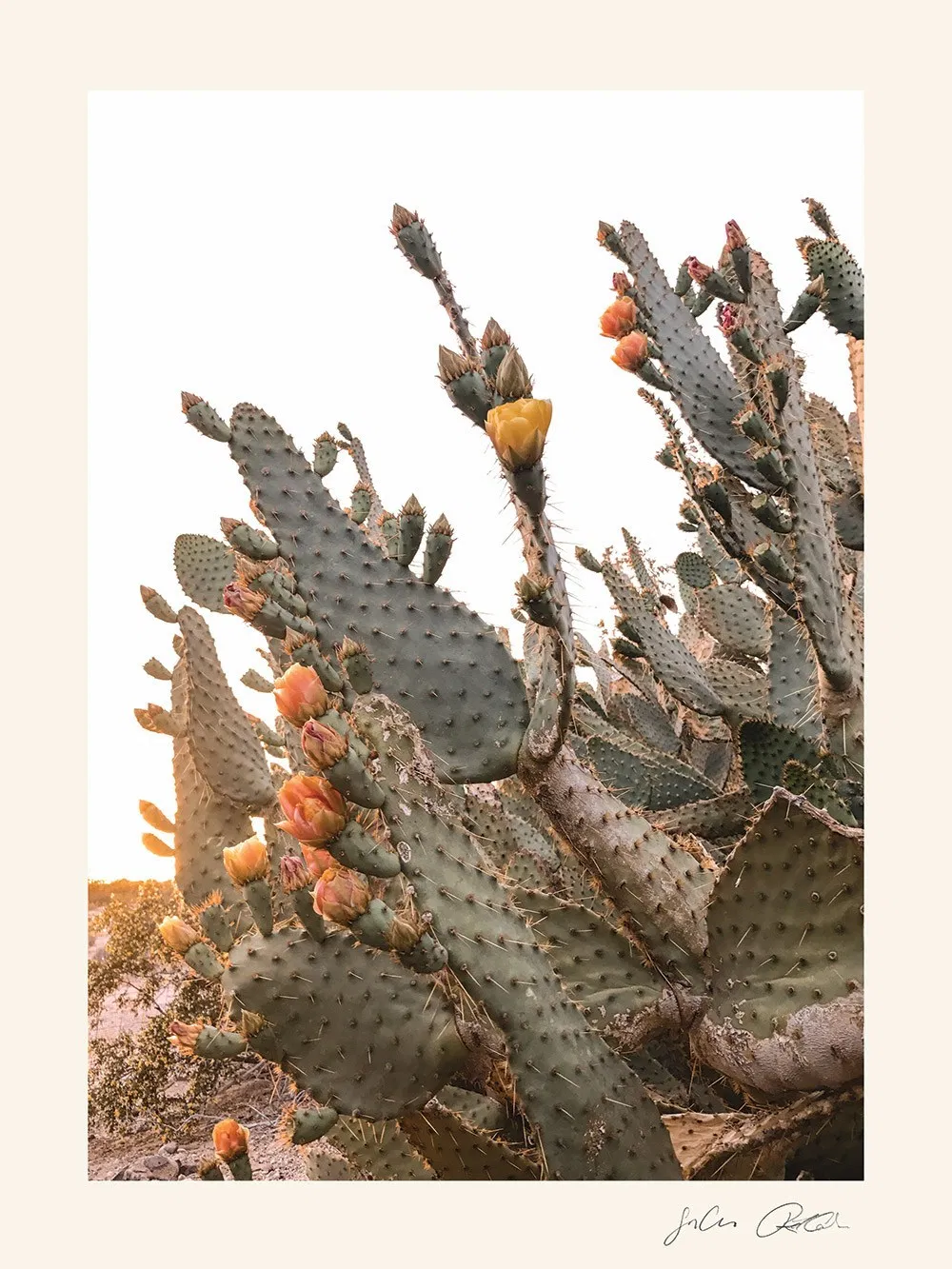 The Cow Tongue Cactus Is Aptly Named For Being The Shape Of A