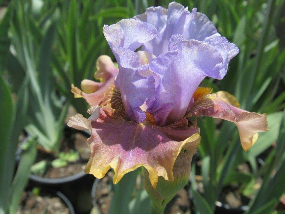 Paso doble iris pinterest iris and flowers paso doble izmirmasajfo