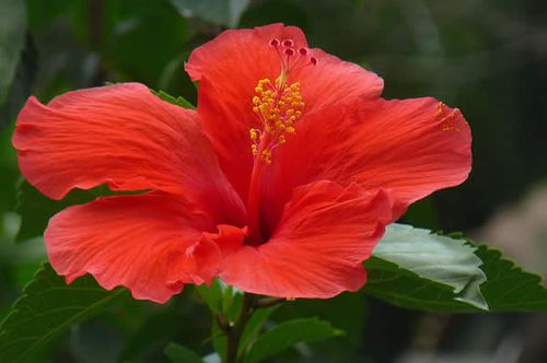 Pin By Wafer Decor On Fiore Di Ibiscus Flower Photos Hibiscus Planting Flowers