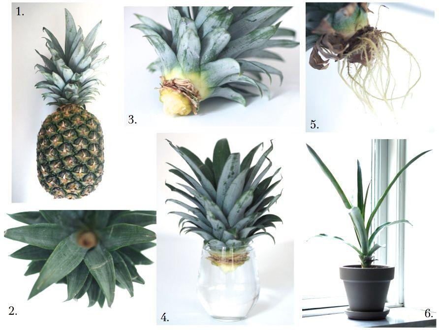 plante af ananas gardening everywhere pinterest hobbyarbejde planter og haveideer. Black Bedroom Furniture Sets. Home Design Ideas
