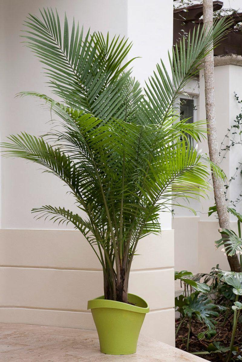 Kentia Palme Balkon Garten Gartenarbeit Haus Garten Zenideen Kentia Palme Bepflanzung Pflanzen