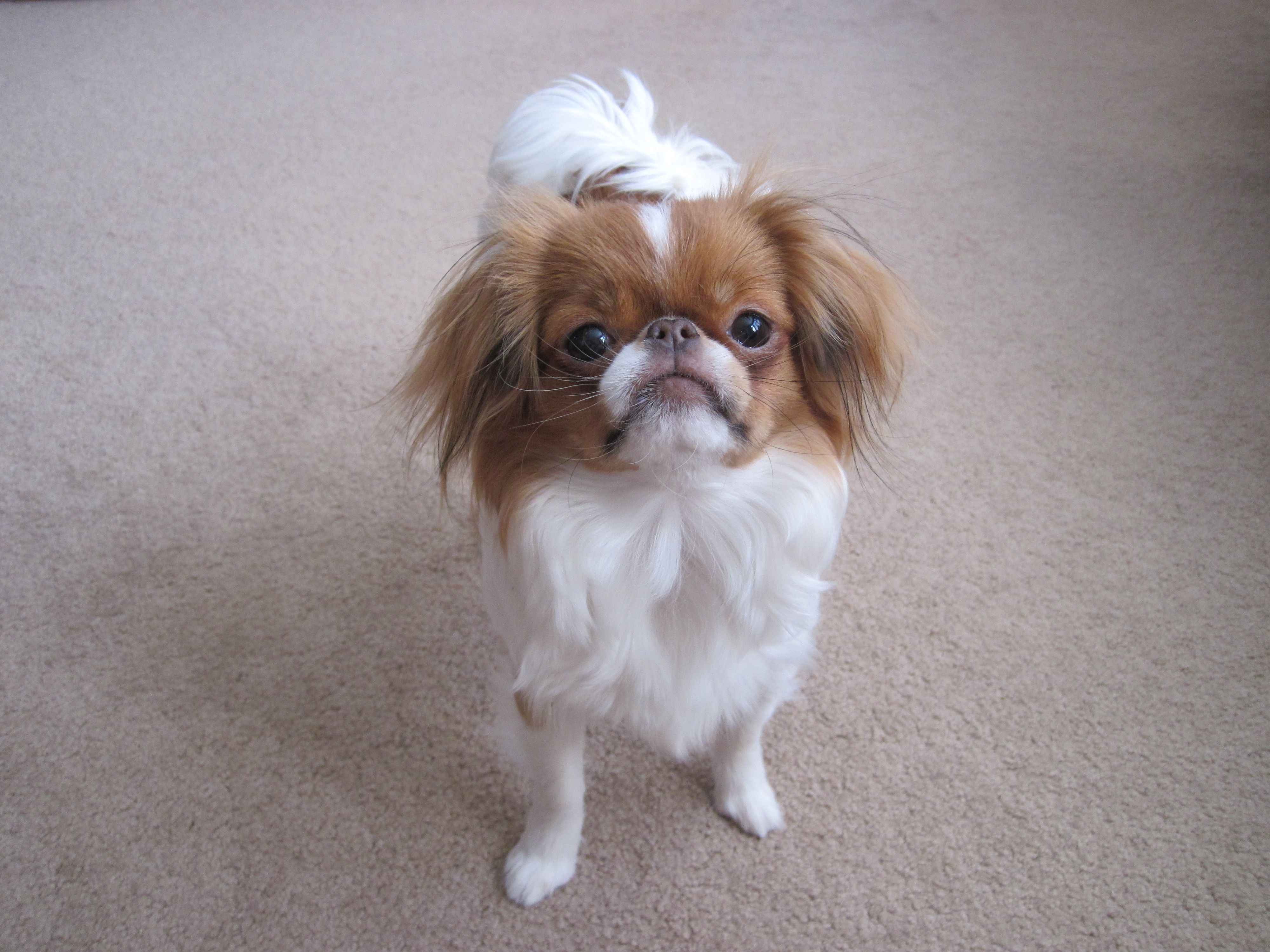 Japanese Chin, Sophie Japanese chin dog, Japanese chin, Pets