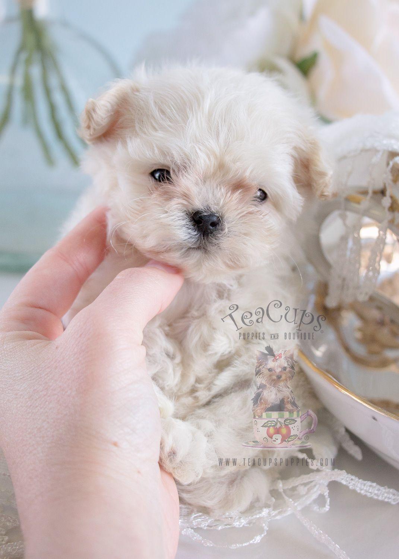 My Dog Fancy Teacup Maltese Puppy Puppylove Doglovers