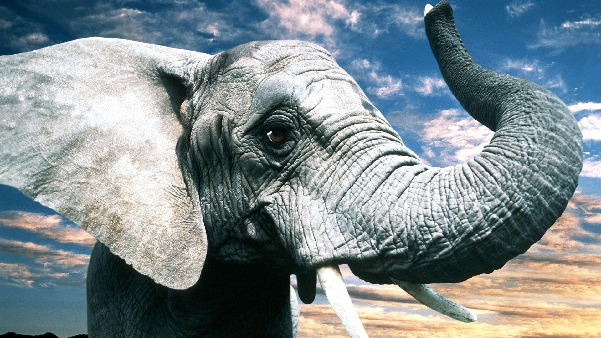 Hd wallpaper elephant - Elephant Hd Wallpaper 1080p Je11w0 Vefego Com