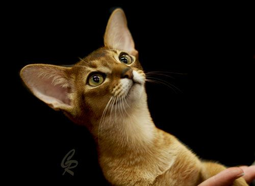 I'm a huge fan of this cat. Abyssinian