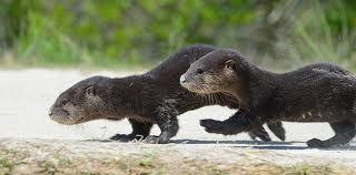 otter running - Google Search