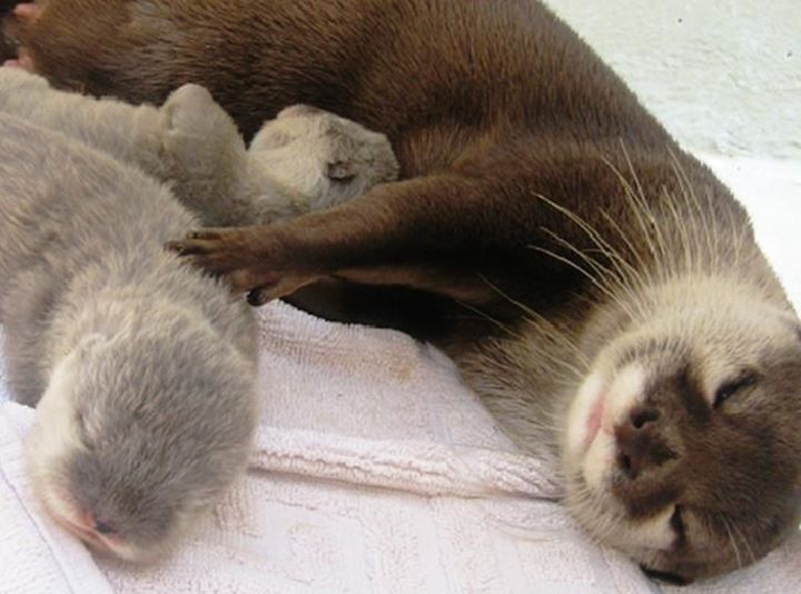 otters are so freakin adorable! Momma River Otter with pups