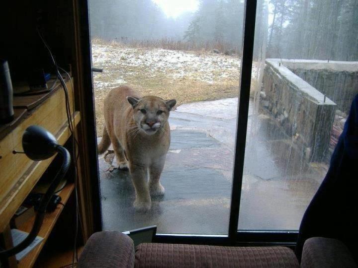 crazy cougar mountain lion in backyard