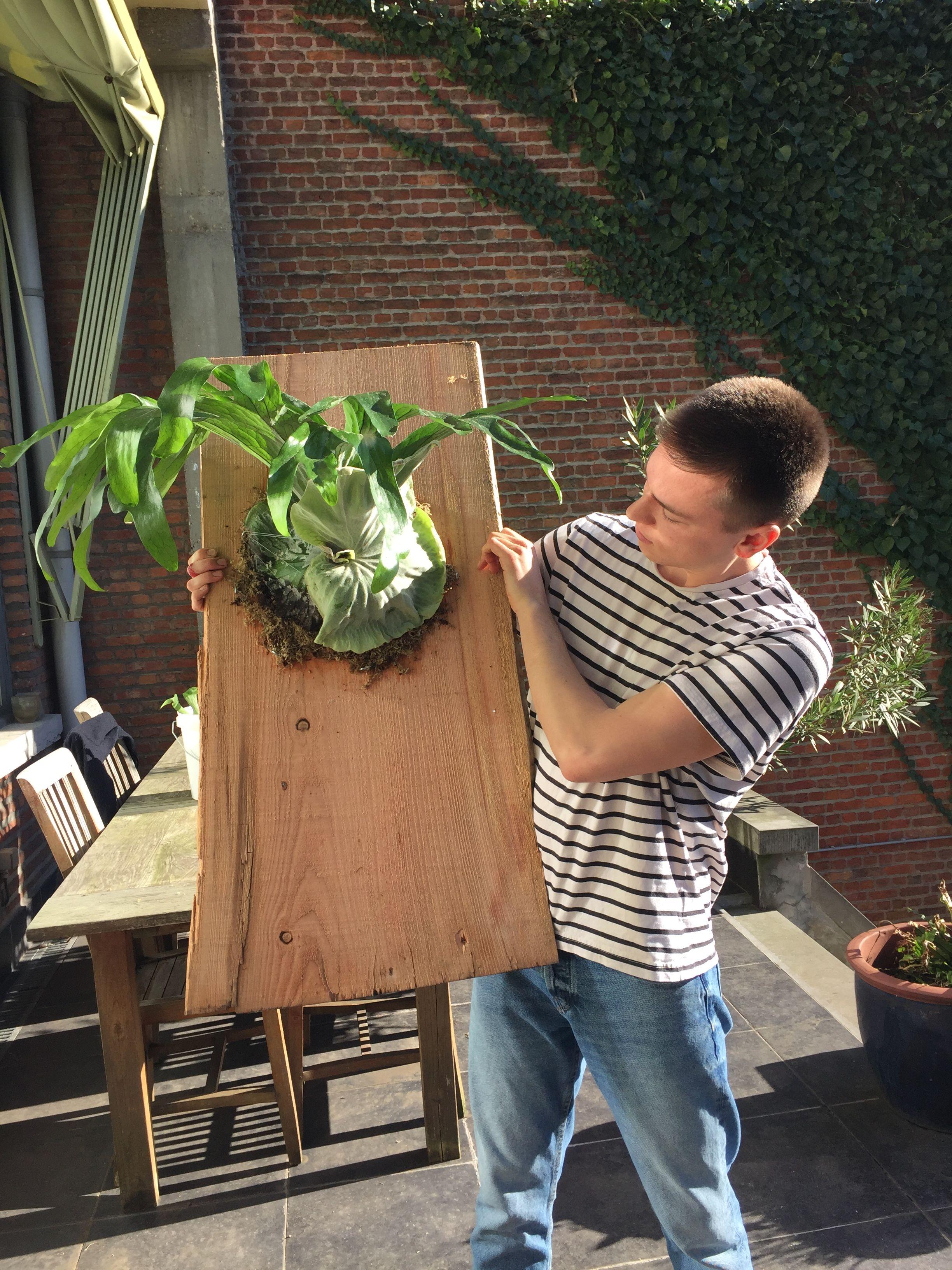 DIY mounted Moosehorn fern platycerium superbum