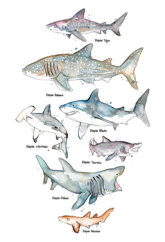 Seven Species Of Sharks Rub Shoulders On This Poster Available In Thwo Different Shark Art Marine Art Shark Drawing