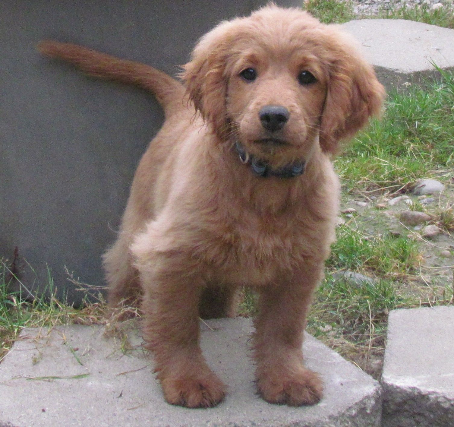 Grown Golden Cocker Retriever A Mixed Breed Of Golden Retriever