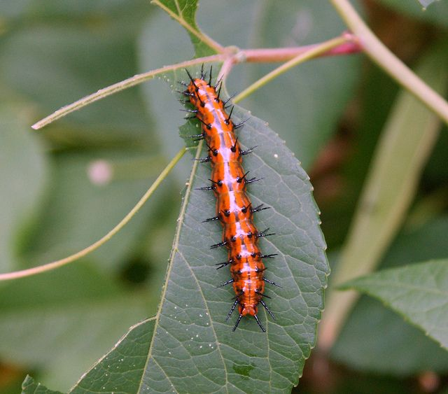 Caterpillar Gulf Fritillary Butterfly Agraulis Vanillae Caterpillar Nature Design Species