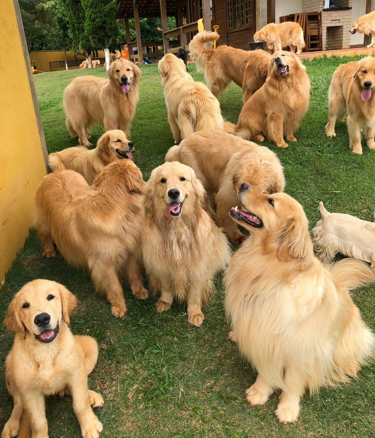 Golden Retriever Reunion Retriever Puppy Dogs Golden Retriever
