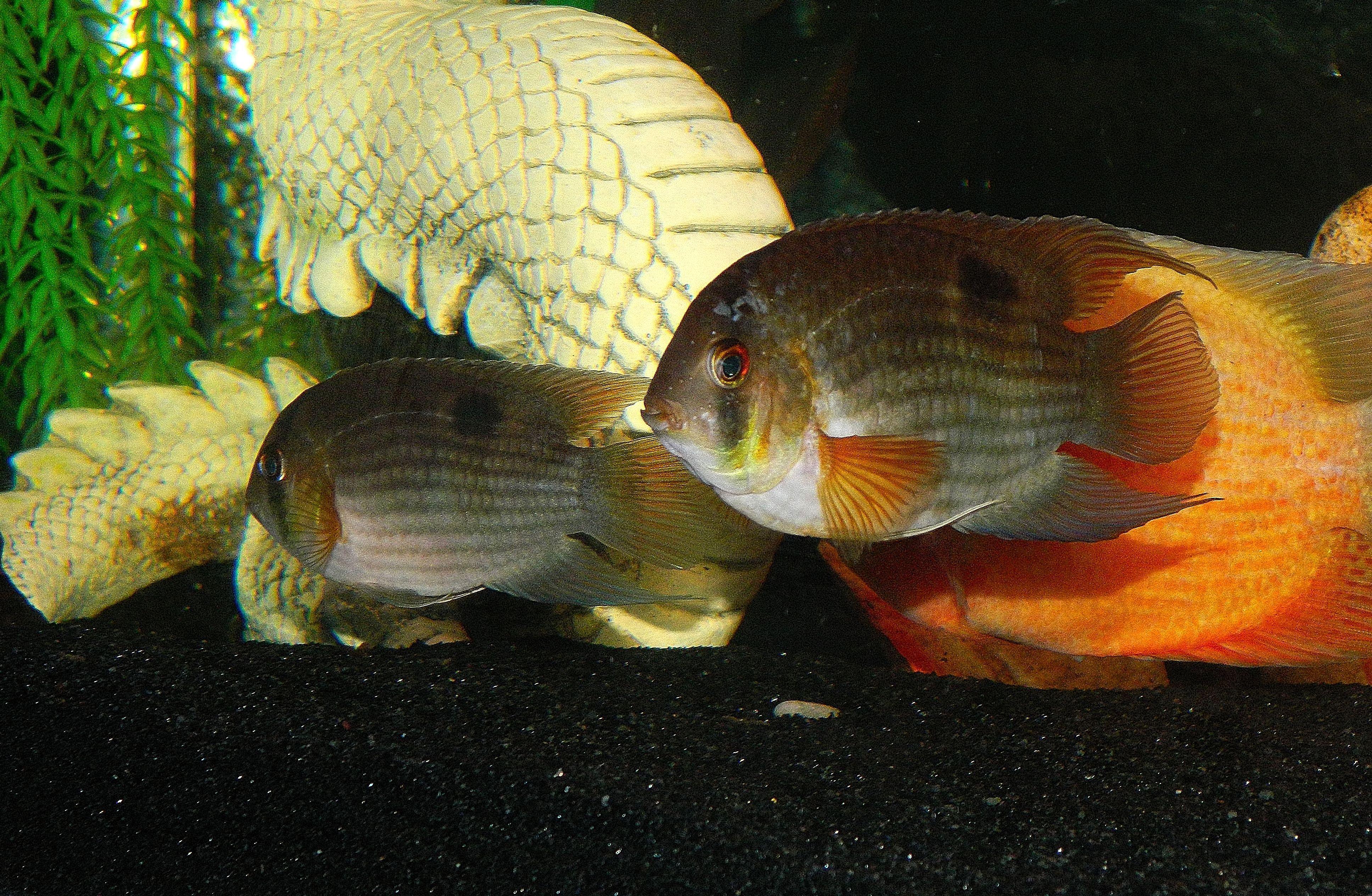 Keyhole Cichlid Keyhole Cichlids Fish C Pinterest Cichlids
