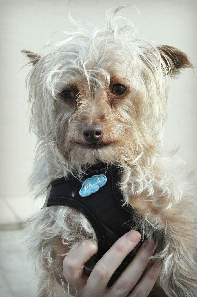 Adopt Grizzy on Yorkie dogs, Yorkshire terrier, Terrier