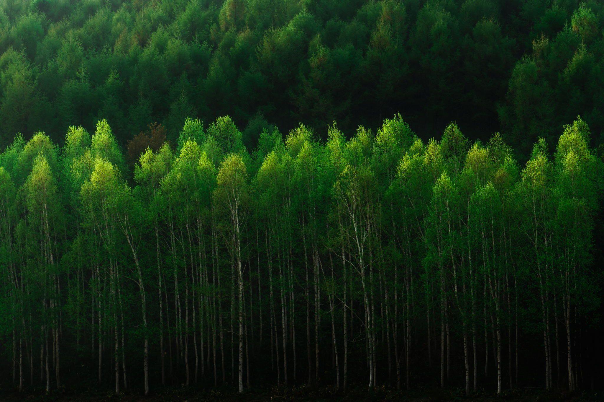 White birch trees with fresh green, Hokkaido Japan.