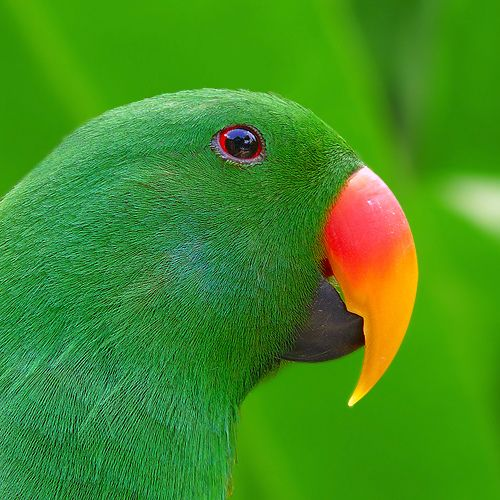 Male Eclectus Parrot (Eclectus roratus) is native to the Solomon Islands, Sumba, New Guinea, northeastern Australia and the Maluku Islands.  The females are red and blue.  Photo: Jessy Eykendorp - taken in Bali, Indonesia.  -kc