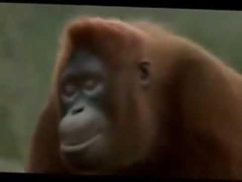 Ютуб видео обезьяна с автоматом