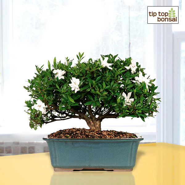 Gardenia Bonsai Tree To Brighten Your Home With Beauty And