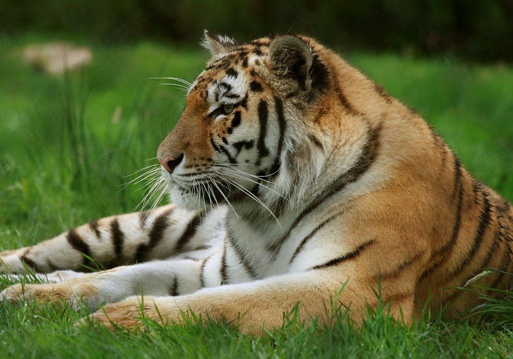 Knowsley safari park - Siberian Tiger   Flickr - Photo Sharing!