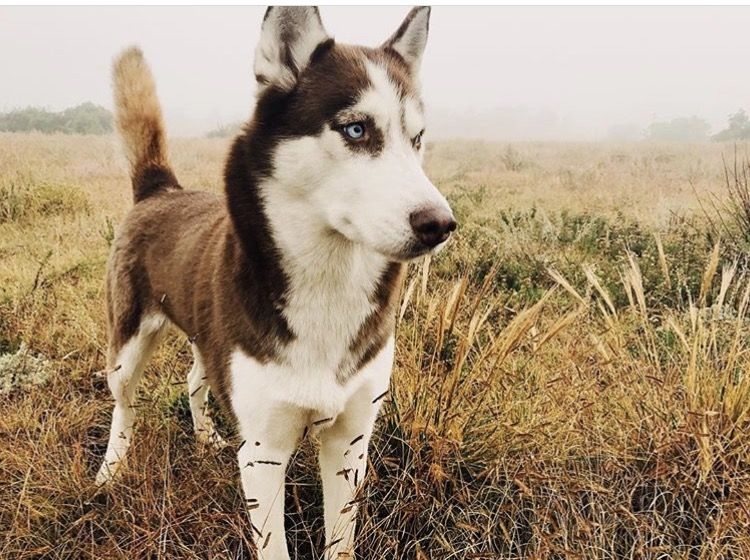 Rottweiler puppies killeen texas