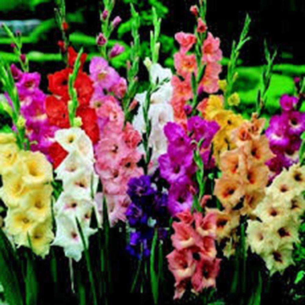 Amazon Com Gladiolus Bulb 10 Pack Pastel Mixed Mixed Perennial Gladiolus Bulbs Flowers Patio La Bulb Flowers Summer Flowers Garden Flowers Perennials