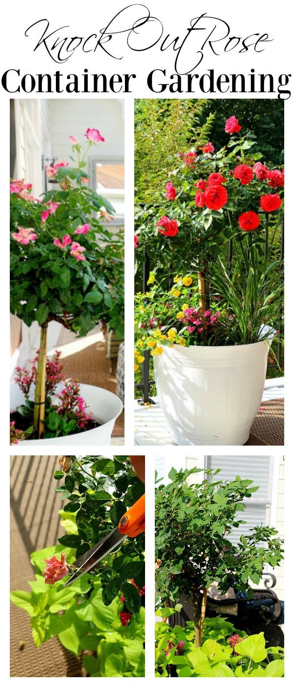 Knock Out Rose Container Garden Tips. Easy maintenance and care this knock  out rose in the container is a perfect choice for sunny patios and decks. c4015eea603