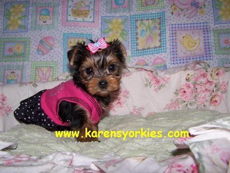 Teacup Yorkie Puppy For Sale In Colorado Springs Co Teacup Yorkie Puppy Yorkie Puppy For Sale Teacup Yorkie For Sale