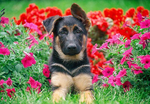 German Shepherd Puppy With Flowers German Shepard Puppies
