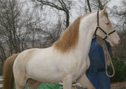 "Sooty Gene | ... heterozygous for the ""sooty"" gene American Paint x Quarter Horse mix perlino"