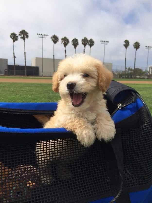 32 Puppies Who Are Just Really Happy Maltipoo Puppy Smiling Dogs Puppies