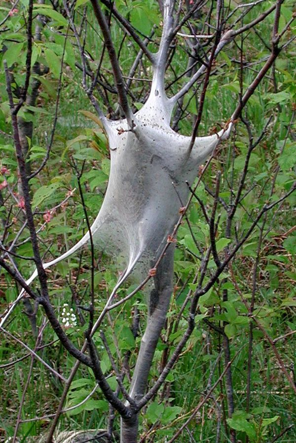 Tent caterpillars spin a large, web-like structure in a tree or