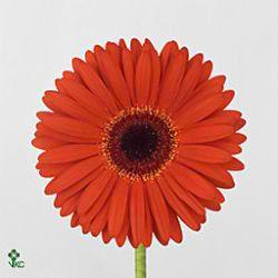 Gerbera Monarch Gerbera Florist Supplies Amazing Flowers