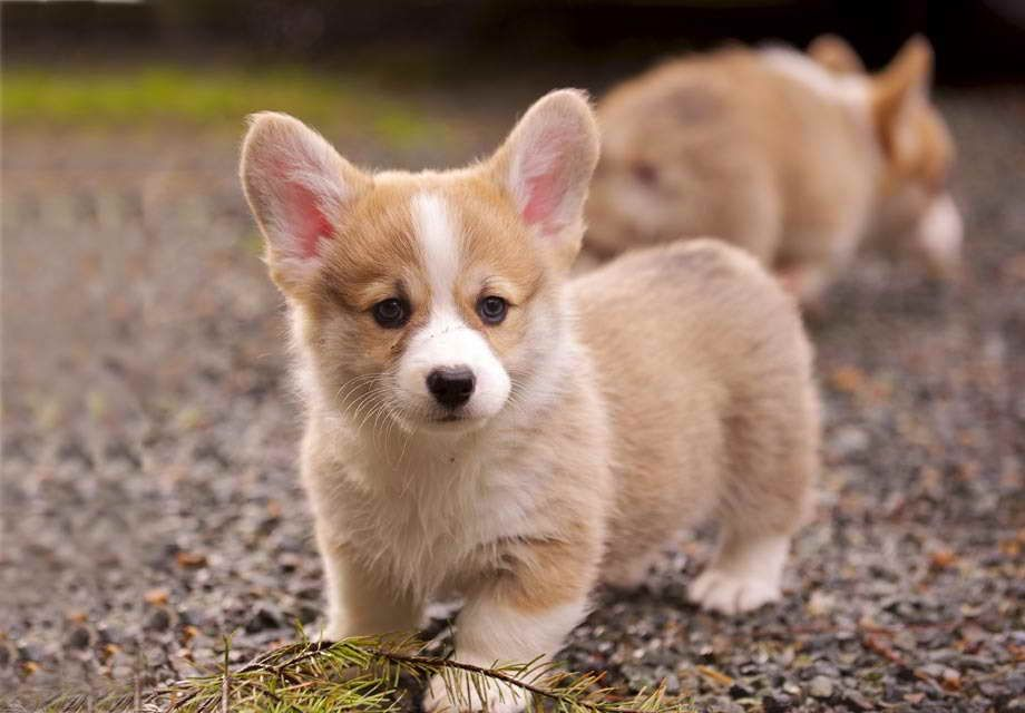 Mini Corgi Puppies For Sale >> Baby Corgi Puppies For Sale Pets And Dogs Cute Animal Pictures