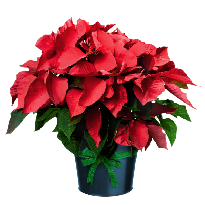 Poinsettia In Pot December Flower Beautiful Flowers Pictures Poinsettia
