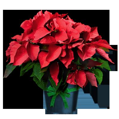 poinsettia in pot december flower