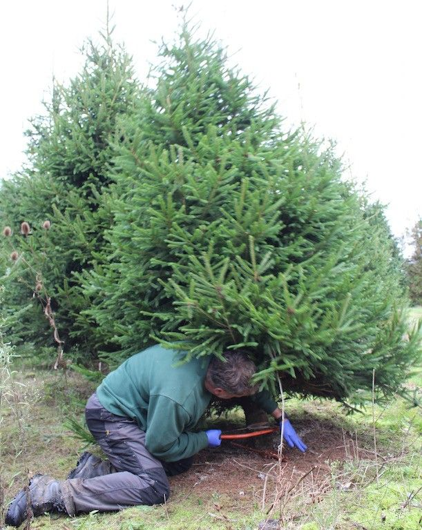 The freshest cut Christmas trees by Neill Strain from Yattendon, Berkshire - The Freshest Cut Christmas Trees By Neill Strain From Yattendon