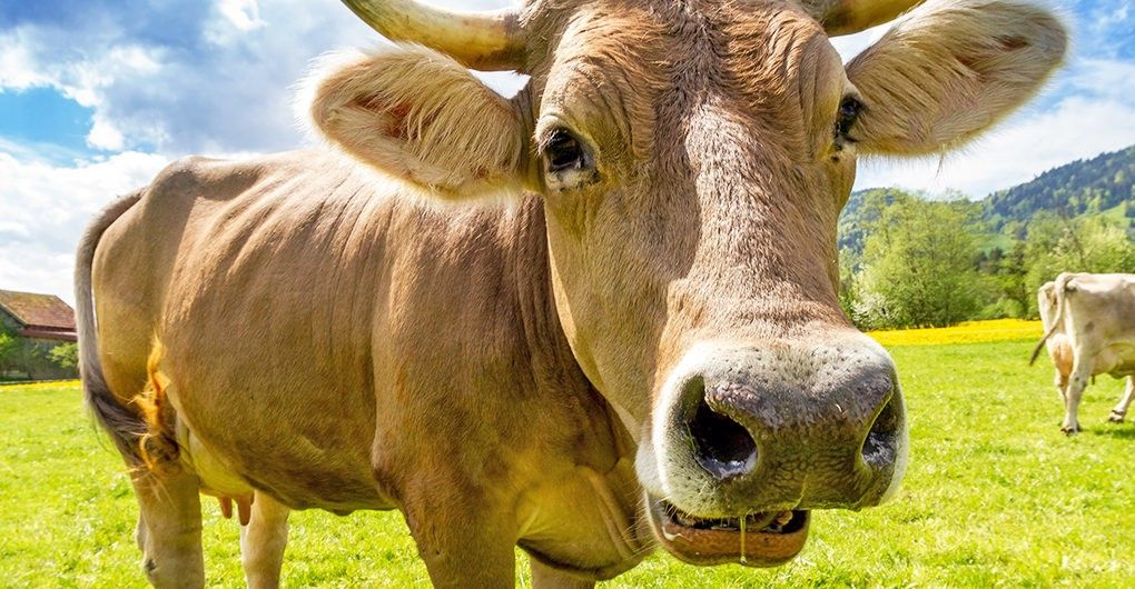 How seaweed eating super cows will save the world