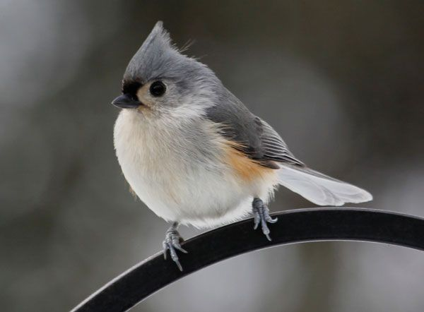 A Tufted Titmouse Visits The Bird Feeder This Morning Photo By Steve Muise Farmington