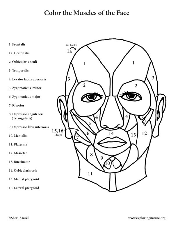 - Muscles Of The Face Coloring Page In 2020 Muscles Of The Face, Anatomy Coloring  Book, Coloring Book Pages