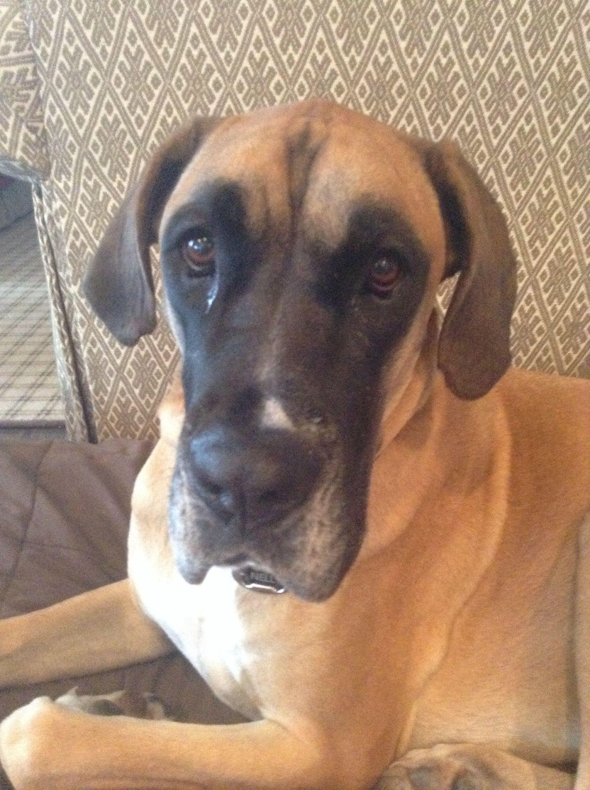 Boxer Great Dane Mix Cutie Boxer Dogs Breeds Great Dane Mix