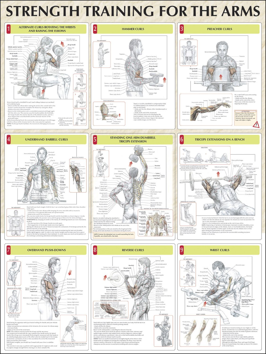 Strength Training For The Arms Chart | gym charts ...