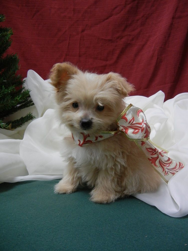 Pomeranian Poodle Pom Poo Puppy Male Born 10 01 11 For More