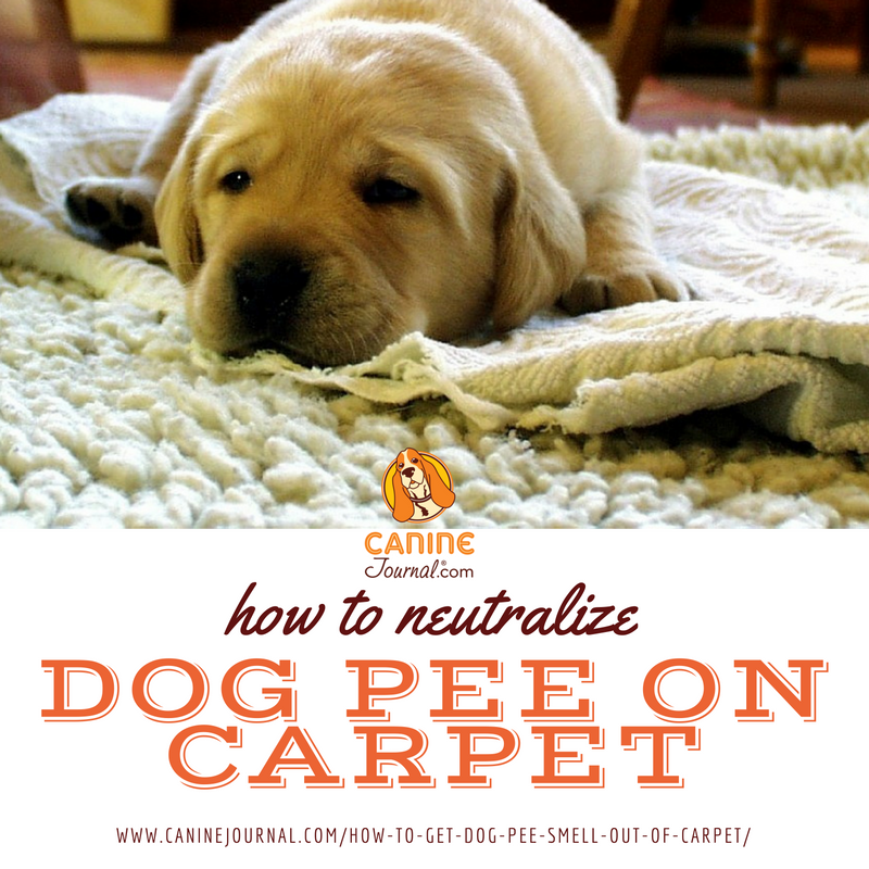 Dog Smell In Area Rug: Ew, That Smell: How To Get Dog Pee Smell Out Of Carpet